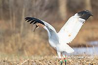 00881-00401 Whooping Crane (Grus americana) Federally endangered species feeding Effingham Co. IL