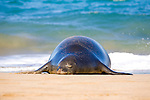 A Hawaiian Monk Seal on the beach at Ka'anapali, Maui. The Hawaiian monk seal, Monachus schauinslandi, is an endangered earless seal that is endemic to the waters off of the Hawaiian Islands