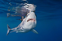 shortfin mako shark, Isurus oxyrinchus, with parasitic copepods, very aggressive and the fastest swimmer of all shark species, off San Diego, California, USA, Pacific Ocean