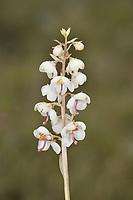 Pyrola rotundifolia subsp norvegica - Varanger, Norway