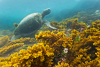 Underwater views of the Galapagos green turtle, Isabella Island, Galapagos Islands, Ecuador.