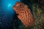 Big barrel sponge in coral reef