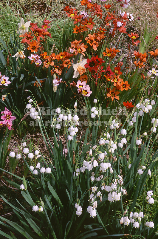 17203-EF Spring Bulbs, Spring Snowflake, Leucojum vernum, Harlequin Flower Sparaxis tricolor, and Daffodil, in February at Bakersfield, CA
