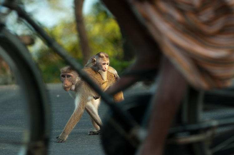 "Crossing between the town and reserve the monkeys are at risk from the dangers of traffic. Bicycles are of least concern as cars, motor bikes, lorries and three wheeler ""tuk-tuks"" drive rapidly through crossing troops of monkeys. Understandably this is one cause of fatalities and the loss of limbs in the Toque Macaques. Polonnaruwa, Sri Lanka. IUCN Red List Classification: Endangered"