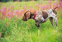 German Short-haired pointer, Delta Junction, Alaska