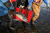 An International Fund for Animal Welfare (IFAW) team carries a stranded common dolphin to a waiting vehicle at Herring River in Wellfleet, MA.