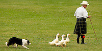 A Border Collie chases ducks during a sheep herding demonstration in the 52nd Annual Grandfather Mountain Highland Games in Linville, NC.