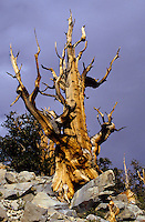 The Worlds oldes living things - the Bristelcone pine trees in the White Mountains Sierra Nevada, California, USA. Up to 5000 years old.