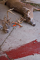 A bloody trail leads into the deer kill storage tent.<br />