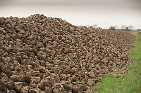 Sugar beet heap waiting to be carted to the beet factory for processing <br /> Picture Tim Scrivener 07850 303986<br /> &hellip;.covering agriculture in the UK&hellip;.