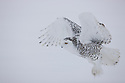 Snowy owl flying holding mouse in claws, Canada