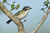 Adult male breeding<br /> Burnet Co., TX<br /> April 2006
