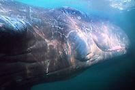 sperm whale calf, Physeter macrocephalus, .a few weeks old, female, .Kona, Big Island, Hawaii (Pacific) (c)