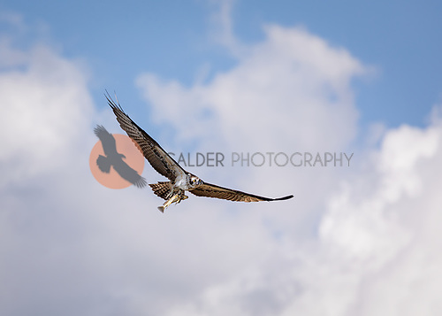Osprey with large fish in talons flying against blue sky with puffy clouds. Osprey is flying towards camera with wings aloft.