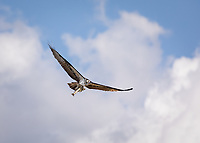 Osprey in flight wings aloft, with large fish flying towards camera against sky
