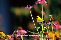 01640-03909 American Goldfinch (Carduelis tristis) male on Purple Coneflower, Marion Co. IL