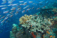 A dense school of Bluestreak Fusiliers, Pterocaesio tile, streams past a healthy hard coral reef, on the edge of a vertical wall. Barren Island, Andaman Islands, Andaman Sea; India