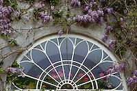 The exterior of a fanlight window surrounded by purple wisteria