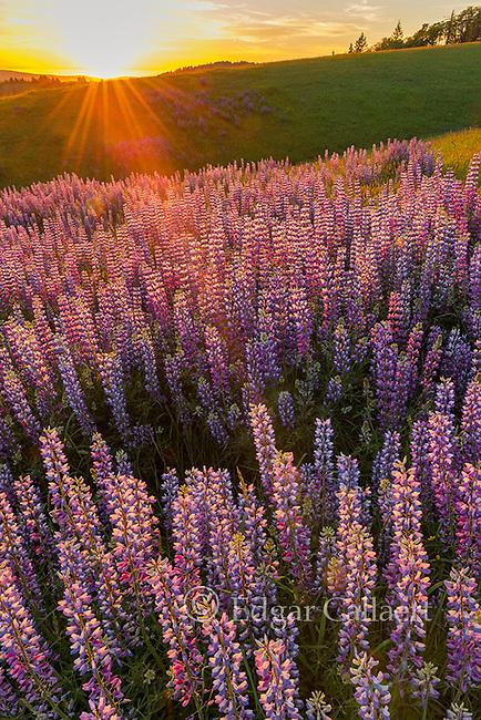 Sunset, Lupin, Lupinus angustifolius, Childs Hill Prairie, Redwood National Park, California