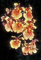 Tolumnia Golden Sunset (Equitant Oncidium) orchid