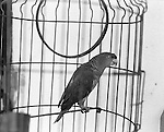 August, 2005. A parrot in it's cage. The surfing village of Troncones, in Guerro, Mexico.