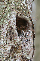 Adult, gray morph Eastern Screech-Owl (Megascops asio) roosting in a natural tree cavity. Tompkins County, New York. November.