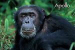 Gombe Chimp Portraits