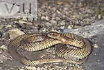 Western Coachwhip or Whipsnake (Masticophis flagellum), Texas, USA.