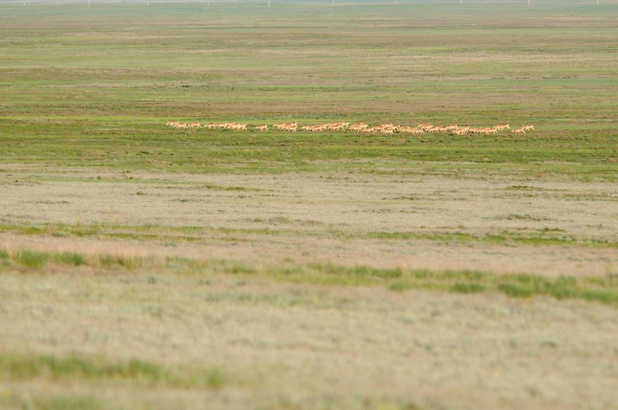 Mission: Saiga.Saiga (Saiga tatarica) herd in the steppe near Cherniye Zemly (Black Earth) Nature Reserve, Kalmykia, Russia, May 2009.Saiga tatarica