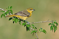 Orchard Oriole - Icterus spurius - 1st spring male