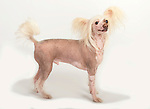 Chinese Crested Dog (Hairless), Standing, Studio, White Background