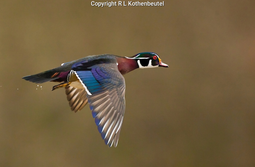 Male wood duck flying along the shoreline on a cold winter day.<br />