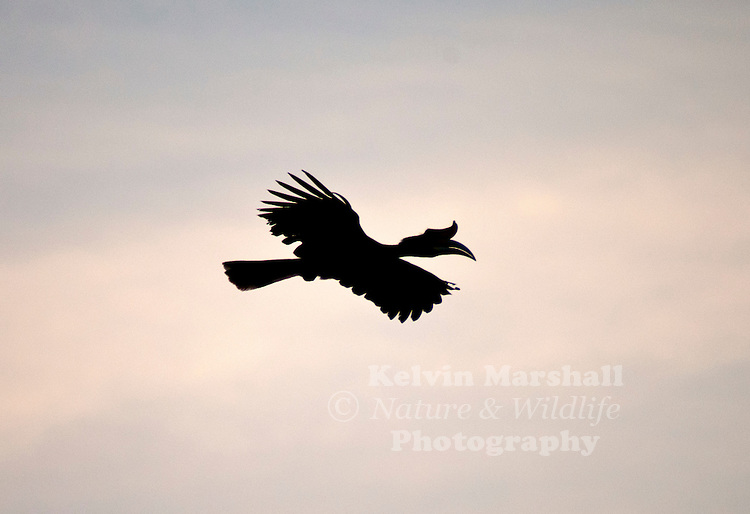 A Rhinoceros Hornbill, (Buceros rhinoceros) - flying over the Kinabatangan river late in the afternoon.