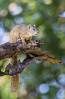 Tree Squirrel at Umlani Bush Camp in the Timbavati, South Africa