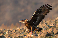 Golden Eagle, Aquila chrysaetos, adult, rocky landscape, Bulgaria