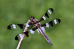 Male Twelve Spot Skimmer (Libellula pulchella) perched on a stick.