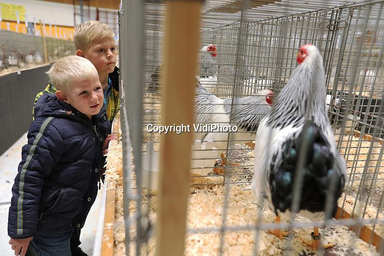 Foto: VidiPhoto<br /> <br /> EDE - Raskippen zijn hot. Niet alleen op de Nationele Kernhemshow in Ede, donderdag, maar vooral ook bij burgers op het platteland. De organisatie van de pluimveetentoonstelling in Ede constateert een flinke toename van kippenfokkers -en houders, vooral bij mensen die verhuizen van de stad naar het platteland. Het zijn vooral de oud-Hollandse rassen die zich in een toenemende belangstelling mogen verheugen. De kippen op de Edese tentoonstelling zijn dan ook te koop. Tegelijkertijd neemt het aantal deelnemers aan pluimveekeuringen ieder jaar af, waardoor naar verwachting diverse kleindierverenigingen zullen moeten fuseren. Een zorgelijke situatie, vindt de organisatie. Hoewel op de Kernhemshow, die drie dagen duurt, ook konijnen, cavia's en andere kleinere dieren welkom zijn, bestaat dit jaar verreweg het grootste deel van showdieren uit kippen. De Kernhemshow, waar fokkers uit het hele land aan deelnemen, is na de internationale Championshow in Nieuwegein, de bekendste van ons land.