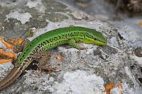 Sizilianische Mauereidechse, Podarcis waglerianus, Podarcis wagleriana, Sicilian Wall Lizard, Sicilian Wall-Lizard, Italien, Sizilien