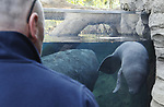 Foto: VidiPhoto<br /> <br /> ARNHEM – Wekenlang heeft het 5,5-jarige drachtige Caribische zeekoevrouwtje de dierverzorgers en biologen van het Arnhemse dierenpark in spanning weten te houden. In de nacht van maandag 18 op dinsdag 19 maart 2019 was het eindelijk zover: in de Mangrove werd een op het oog kerngezonde zeekoe geboren: waarschijnlijk een mannetje. Een unieke gebeurtenis. Het is echter het eerste jong van een nog relatief jong vrouwtje, dus de komende periode is nog wel even spannend voor de dierverzorgers en biologen. Koninklijke Burgers' Zoo is het enige dierenpark in Nederland waar zeekoeien leven. Caribische zeekoeien kennen een draagtijd tussen de 12 en 14 maanden. Het is 24 jaar geleden dat er voor het laatst een zeekoe is geboren in Nederland, ook dat gebeurde in Burgers' Zoo. Een jong weegt gemiddeld tussen de 18 en 24 kg. en heeft een lengte van 1,2 meter.