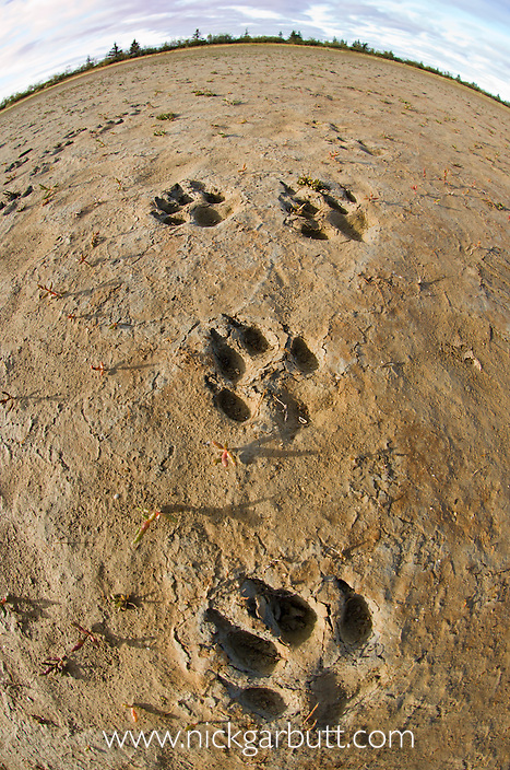 Tracks of Grey or Timber Wolf (Canis lupus) in mud. Shores of Hudson Bay, Manitoba, Canada.