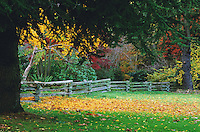 Autumn trees, yellow and red leaves, split -rail fence, in Stanley Park, Vancouver, BC.