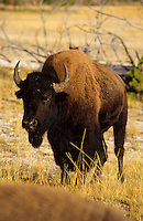 A bison in Yellowstone national Park, Wyoming, USA