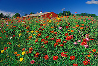 Red pole barn surrounded by field of brightly colored zinnias, Missouri