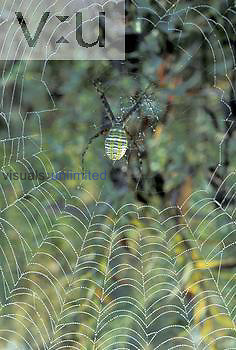 Orb-weaving Spider (Argiope) on its dewy web, North America