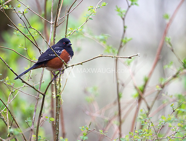 A spotted towhee photographed in the Nisqually National Wildlife Refuge.