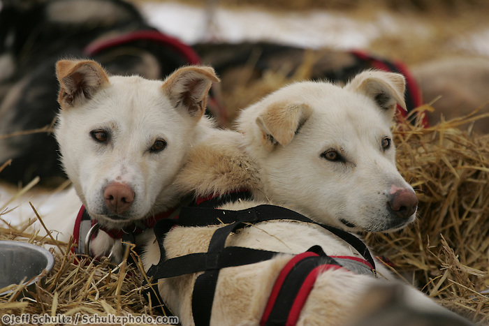 Paul Gebhart's dogs Dolly and Varden, who are sisters rest at the Kaltag checkpoint.  2005 Iditarod Trail Sled Dog Race.