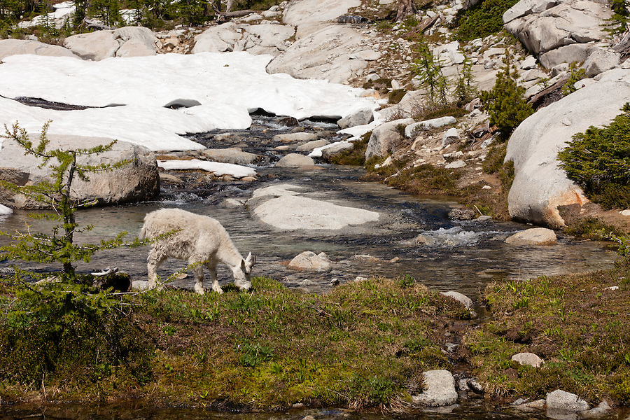 A single mountain goat grazes along a stream near Lake Viviane in Washington State's Enchantment Lakes area.