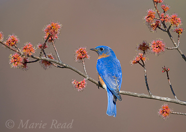 Eastern Bluebird (Sialia sialis), male perched on flowering Red Maple branch, New York, USA