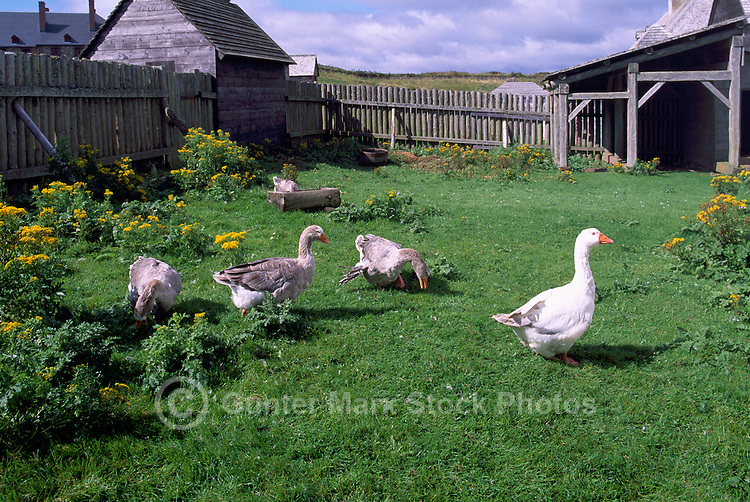 Free Range Domestic Geese roaming in Yard behind the Barn, Fraser Valley, BC, British Columbia, Canada