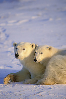 Polar bear (Ursus maritimus) female with second year cub.  Hudson Bay, Canada.